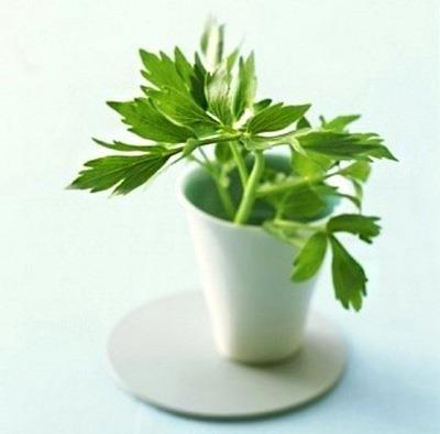 Любисток лекарственный – лечебные свойства и противопоказания, любисток чай.