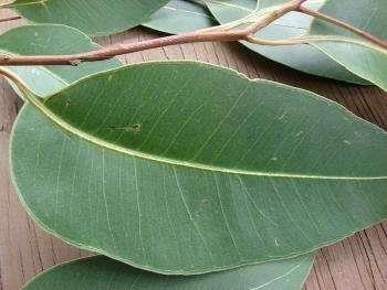 Эвкалипт от кашля: как заваривать и пить взрослым и детям, как заваривать листья эвкалипта.